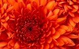 Chrysanthemum_4.jpg