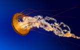 Jellyfish_1.jpg