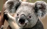 Koala_2.jpg